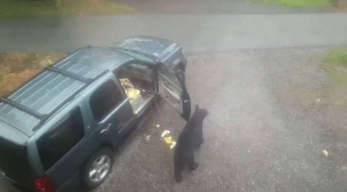 Медведица с медвежонком забрались в автомобиль американца-10 фото + 1 видео-