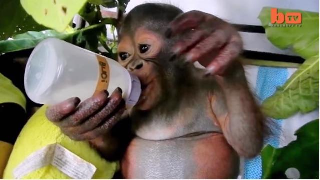 История Буди, маленького орангутана с большим сердцем-3 фото + 3 видео-