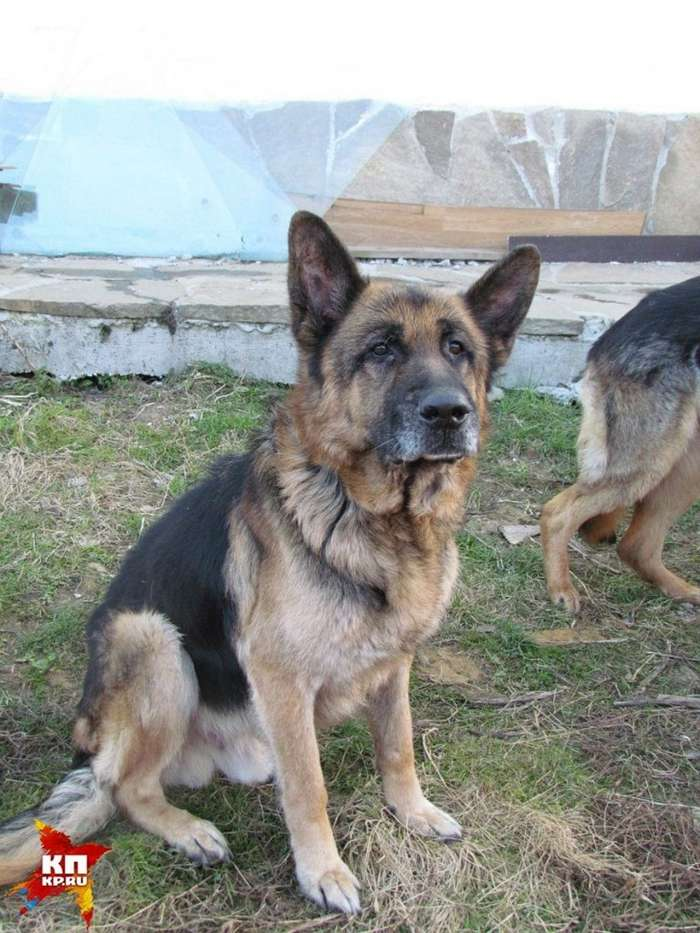 Спустя семь лет разлуки они нашли своего пса! в екатеринбурге хозяева нашли своего пса по клейму-4 фото-