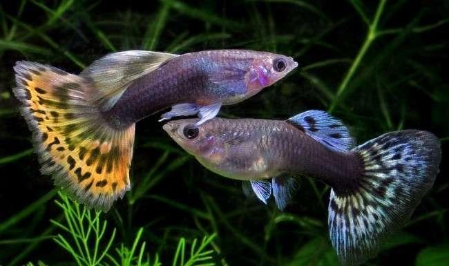 Гуппи, самая миролюбимая, маленькая и красивая рыбка в аквариуме-11 фото-