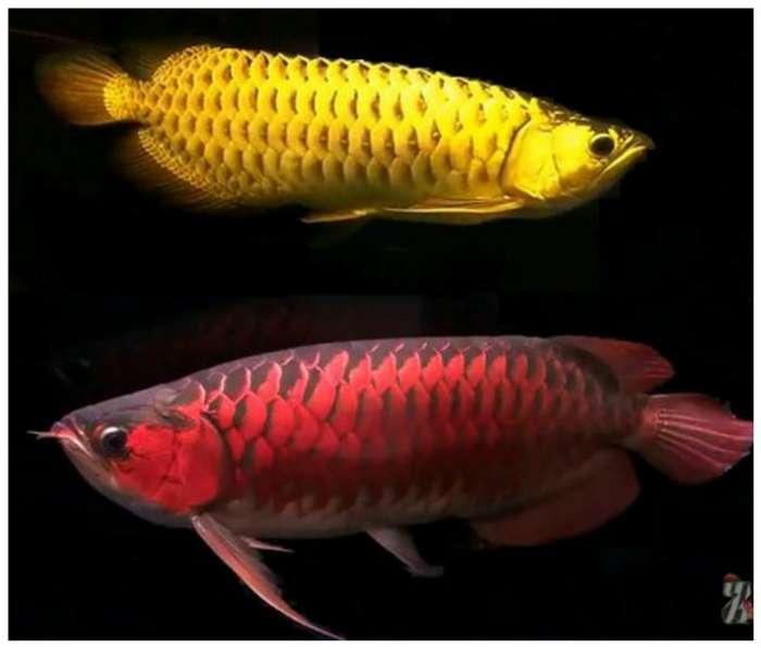 А вы знаете почему эта аквариумная рыбка стоит 400.000 долларов-8 фото-