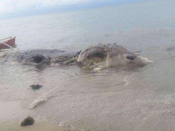 Таинственное морское существо было найдено на одном из филиппинских пляжей-4 фото + 1 гиф-