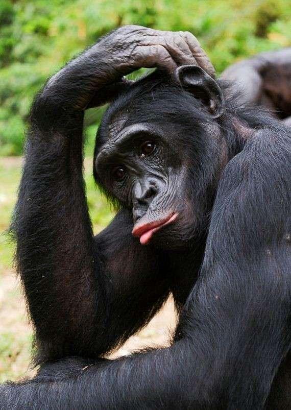 Бонобо-16 фото-
