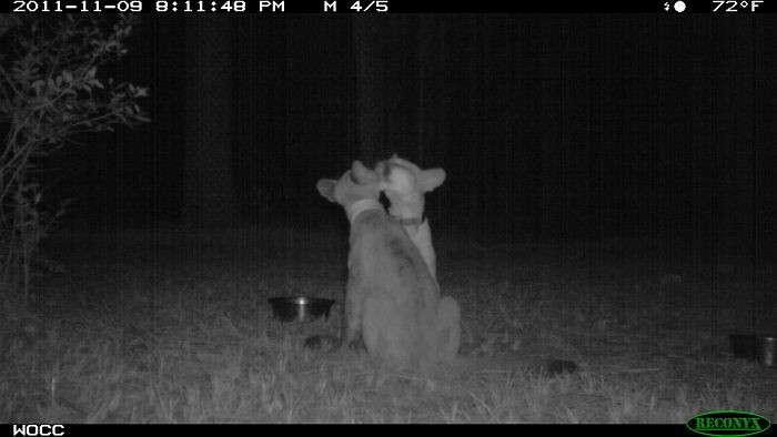 Тайная жизнь: что делают животные, когда их никто не видит-46 фото-