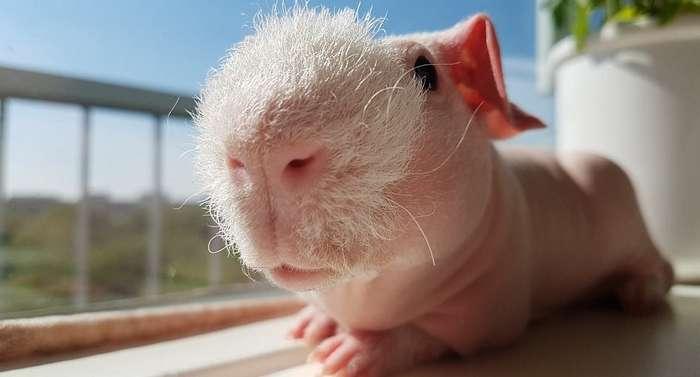 Бесшерстная морская свинка породы скинни по кличке Пим-18 фото-