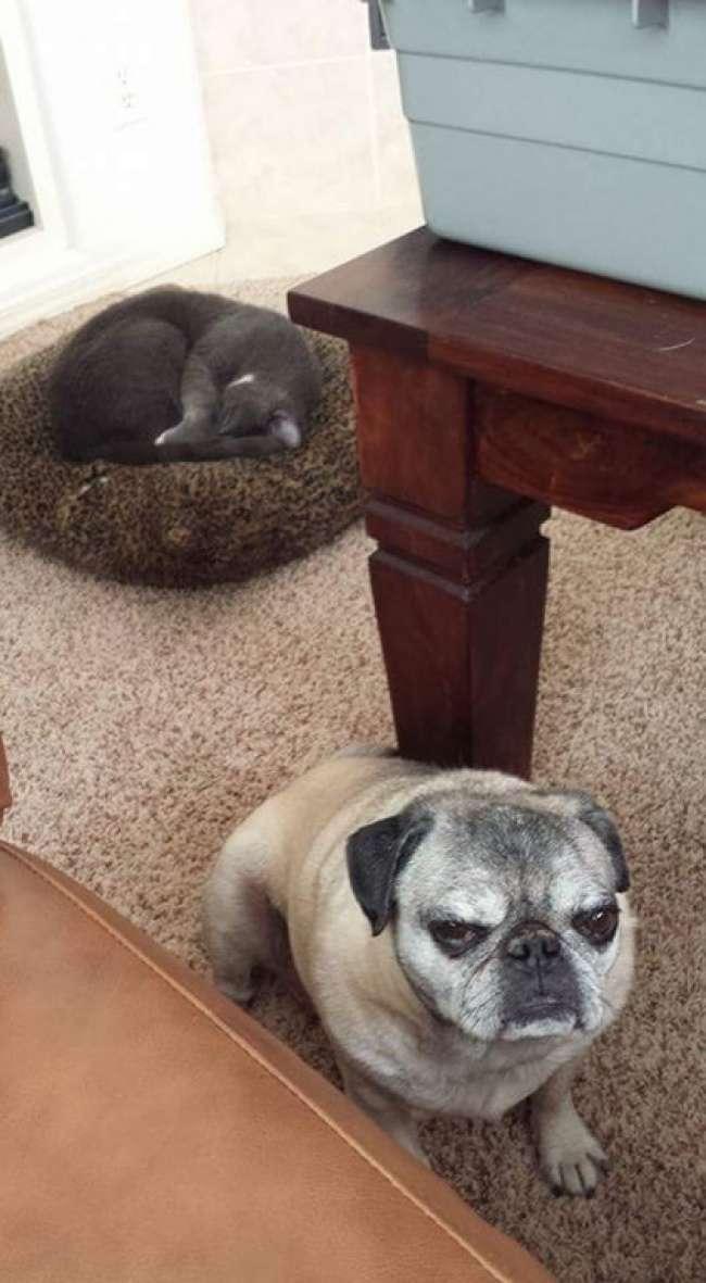 20уморительных фото отом, как уживаются коты исобаки водной семье