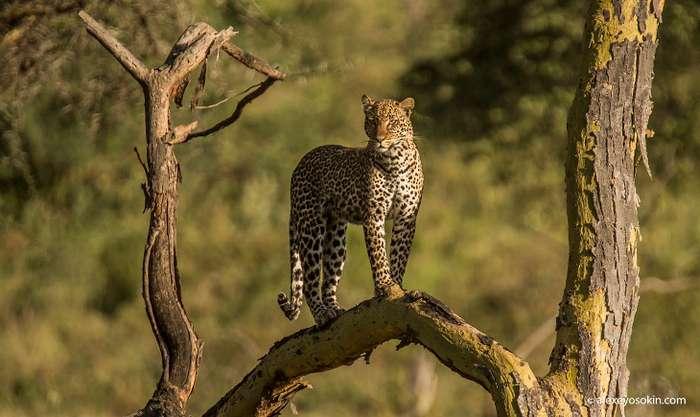 Как самка леопардов одурачила самцов