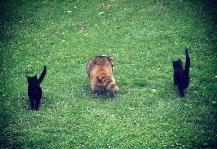 Слепой енот спас жизнь двум маленьким котятам
