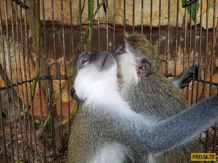 Спасение двух обезьянок, полгода просидевших в маленькой клетке (10 фото)
