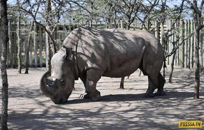 Дни белых носорогов сочтены. Носорог по имени Судан - единственный самец во всем мире (10 фото)