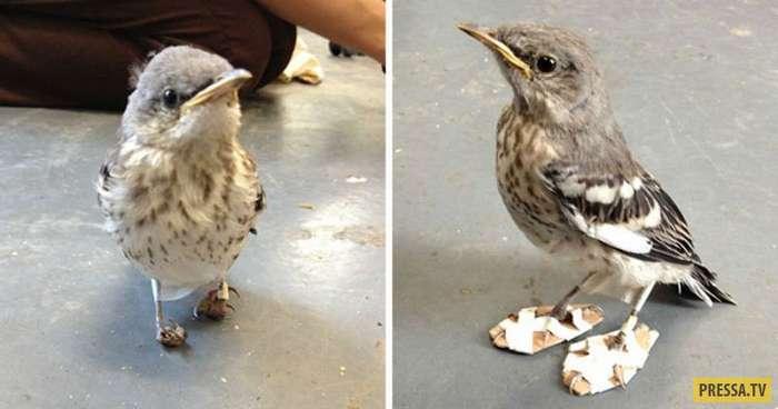 Птичке пересмешнику с больными лапками сделали снегоступы (3 фото)