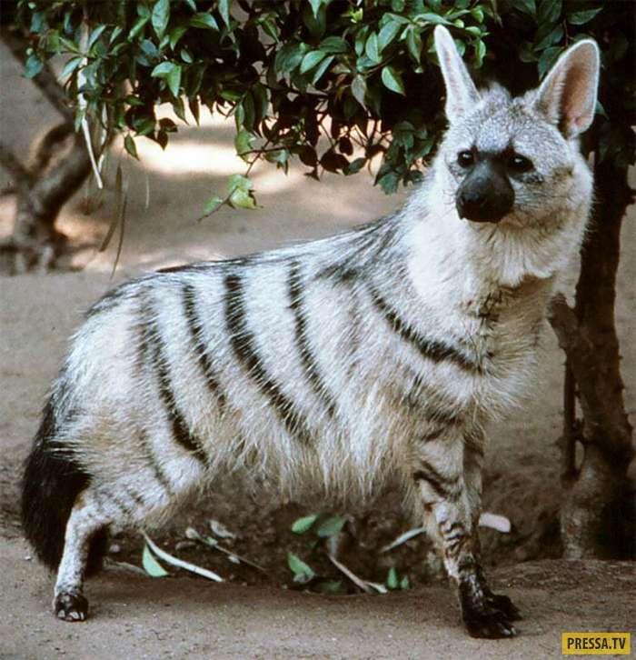 Неведомая зверюшка - земляной волк (12 фото)