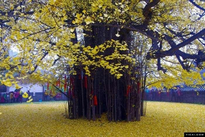 Последний привет осени: 1400-летнее дерево снова разливает океан желтых листьев-6 фото-