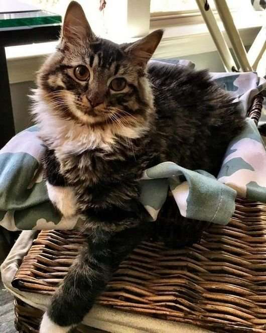 Родившийся без локтевых суставов котенок превратился в прекрасную кошку-8 фото-