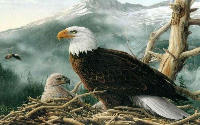 Знаете ли вы, как самка орла выбирает отца для своих орлят?-6 фото + 1 видео-