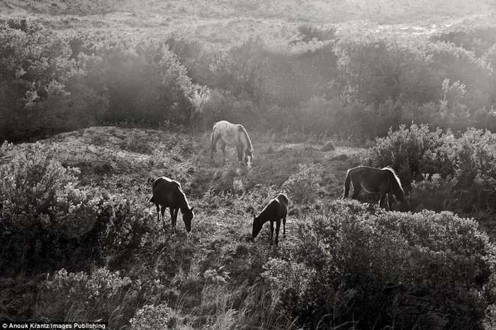 Дикие лошади острова Камберленд-14 фото-