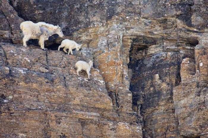 Почему горные козлы не падают-8 фото-