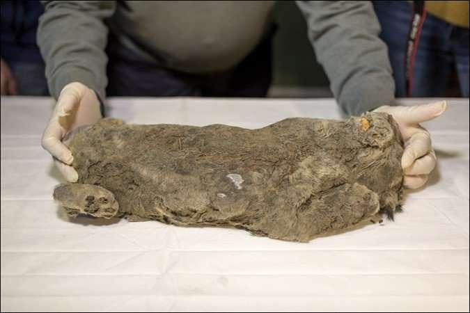 В Якутии нашли идеально сохранившегося пещерного львенка-3 фото-