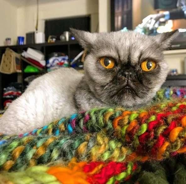 Необычный кот, похожий на мопса, с непростой судьбой-5 фото-