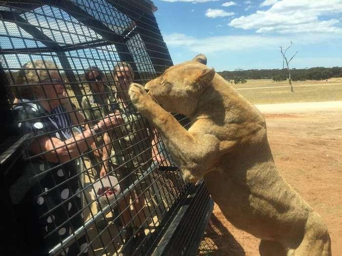В австралийском зоопарке появился новый аттракцион, позволяющий посетителям побыть среди львов-11 фото + 1 видео-