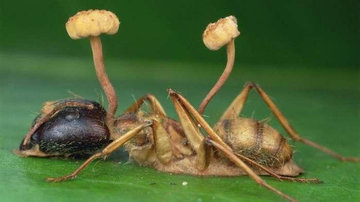 Зомбирующий гриб оказался куда опаснее, чем считали ученые: абсолютный паразит-4 фото-