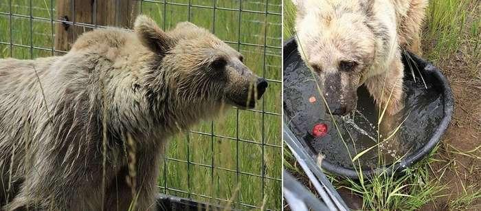 Эта медведица 30 лет ждала спасения-6 фото-