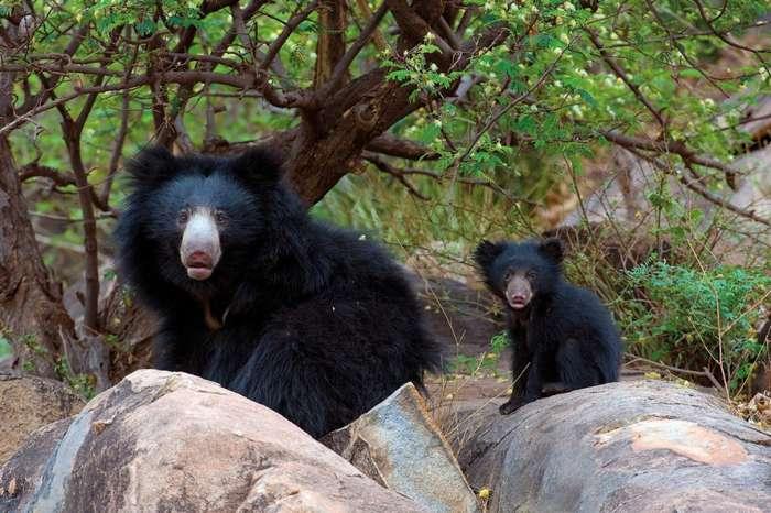 Дикая Индия в фотографиях зоолога Акселя Гомиля
