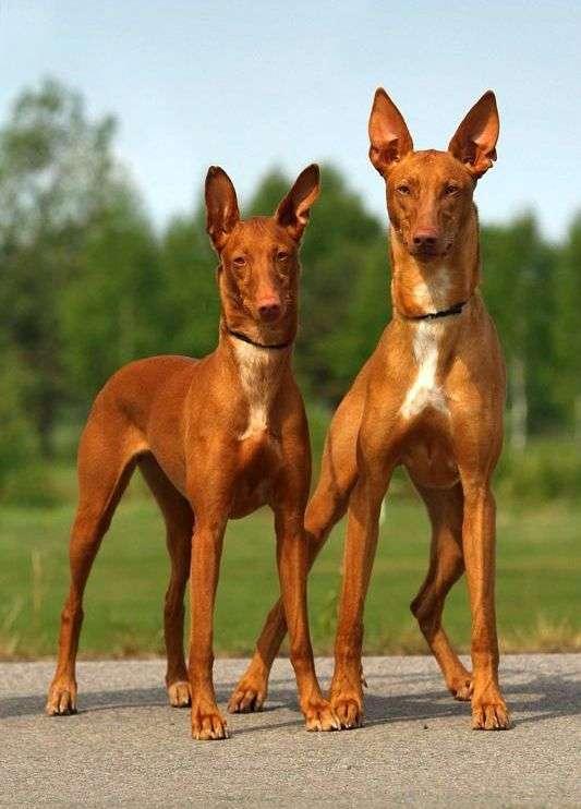 Десятка самых дорогих пород собак
