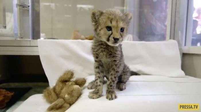 Маленького гепарда спасла дружба со щенком (8 фото + видео)