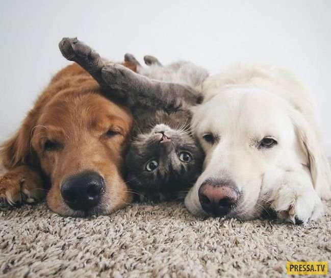 Лучшие друзья: два золотистых ретривера и кот (20 фото)
