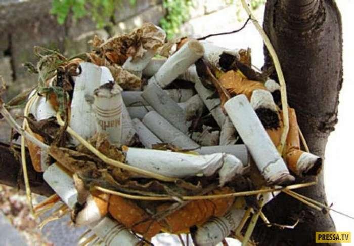Птицы используют окурки для строительства гнезд и защиты от паразитов (5 фото)