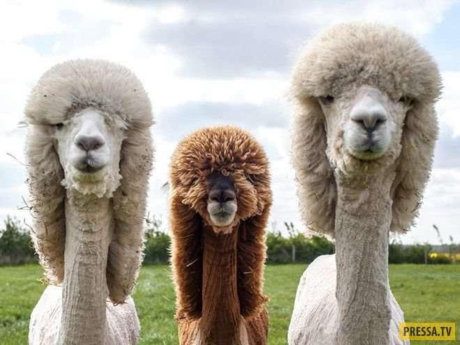 Забавные альпаки после стрижки (16 фото)