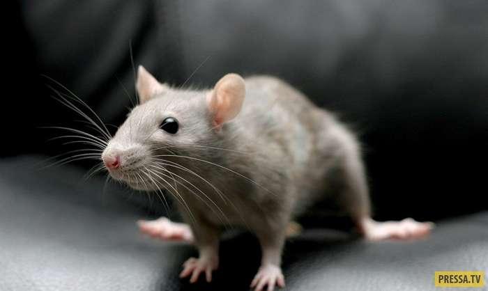 Крыса домой не пускает