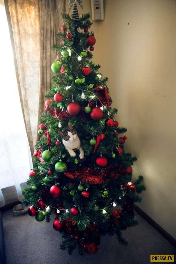 Забавное противостояние кошек с новогодними елками (34 фото)