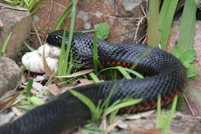 Австралийские сюрпризы: Змея на шлепанцах (3 фото)