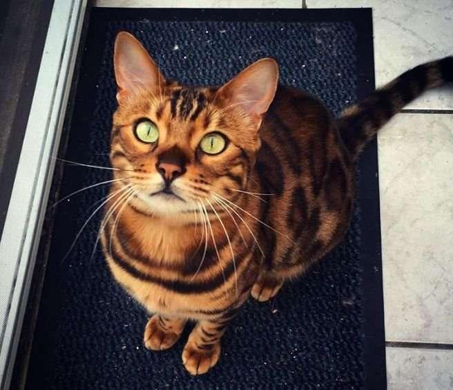Звезда Интернета 3-летний бенгальский кот Тор (12 фото)