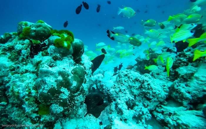 Дайверы плавают с муренами на Мальдивах (11 фото)