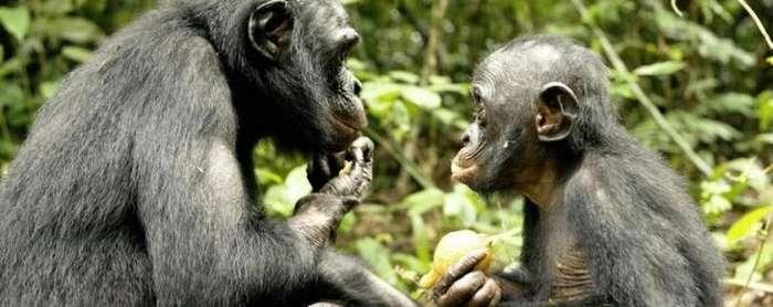 Бонобо - сексуальный сюрприз эволюции-5 фото + 1 видео-