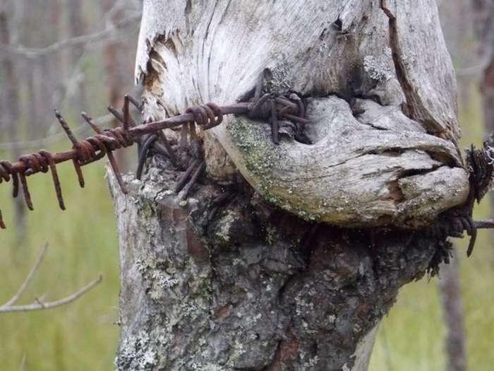 Вросшее в деревья оружие ВОВ-31 фото-