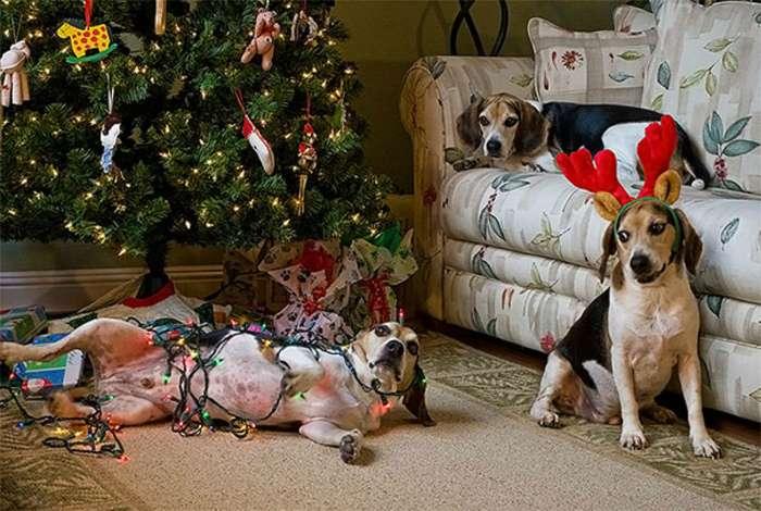 19 снимков, где домашние любимцы наглядно показывают свое отношение к новогодним праздникам