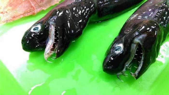 Акула-змея из Тихого океана (3 фото)