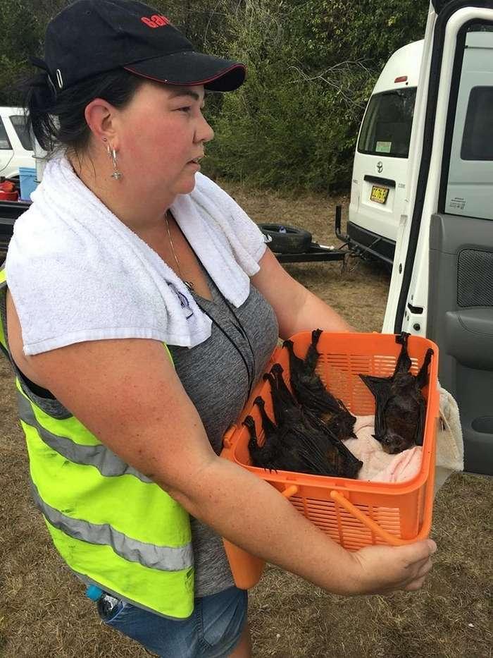 Сотни летучих лисиц погибли из-за жары в Австралии (21 фото)
