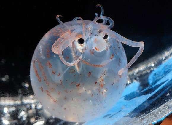 Самые невероятные глубоководные обитатели-10 фото-