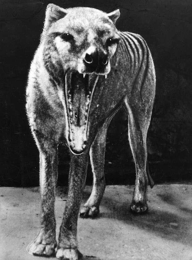 Почему вымерли сумчатые волки?-4 фото-