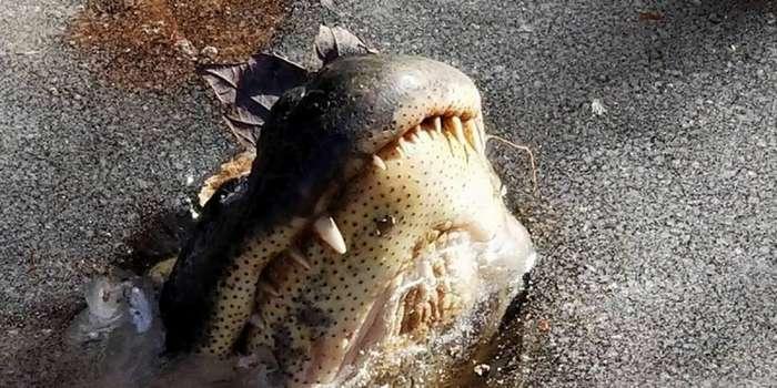 Как аллигаторы из Северной Каролины переживают аномальные морозы