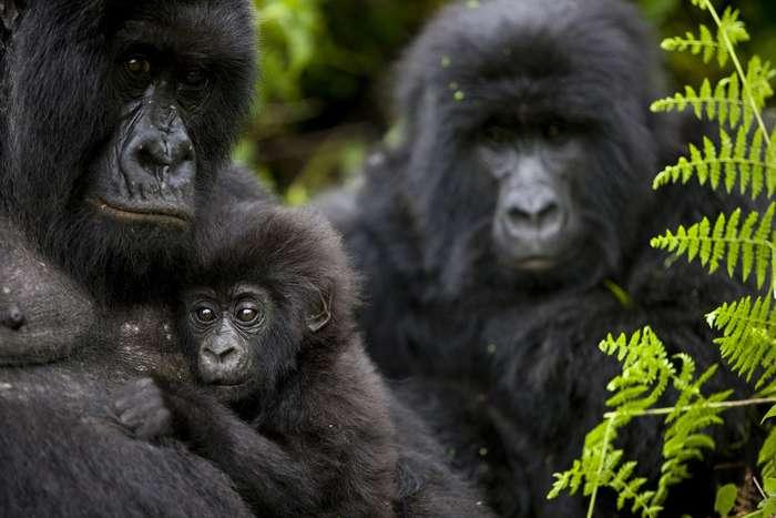 Эти горные гориллы вымирают