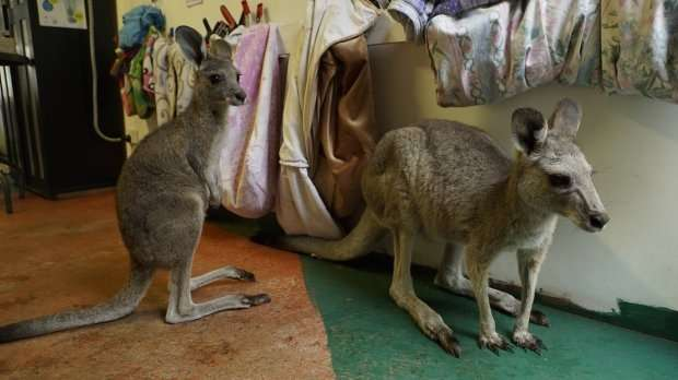 Семья превратила свой дом в приют для кенгуру