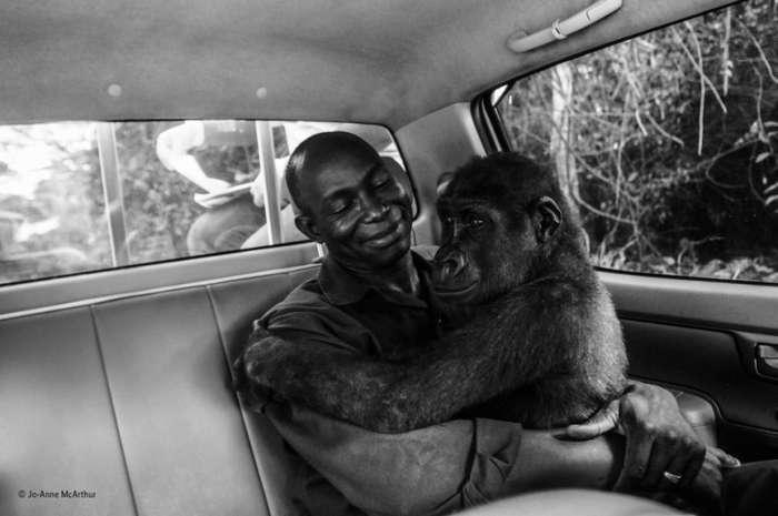 Горилла, обнимающая человека - фотография-победитель конкурса фотографий дикой природы
