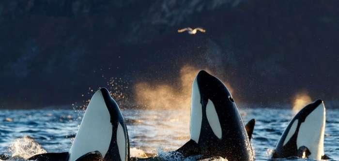 Невероятные фотографии горбатых китов у берегов Норвегии