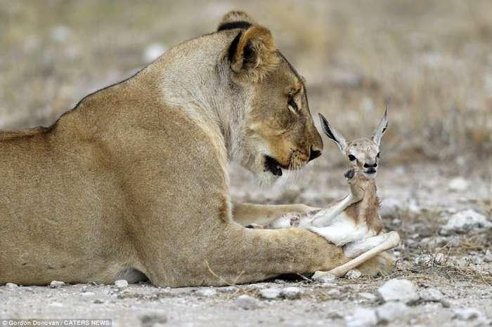 Львица усыновила детеныша антилопы